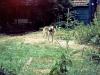 Wolf in de tuin